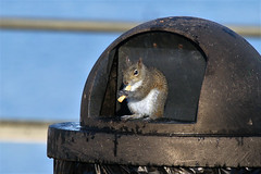Fast Food Restaurant (Jan Nagalski) Tags: animal nature wildlife squirrel scavenger frenchfries fastfood breakfast trash garbage merrittisland trashcan park eastcoast florida jannagalski jannagal funny odd unusual cute