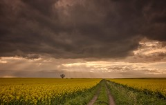Lighten the mood (Captain Nikon) Tags: dramatic drama brooding menacing dark sunrays crepuscularrays rapeseed crops rural track gold yellow mood moody derbyshire lonetree nikond7000 nikon18105mm srbgraduated09softgradfilter