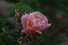 ROSA E BOCCIOLI    ----    ROSE AND BUDS (cune1) Tags: macro fiori flowers natura nature italia italy lazio canalemonterano rose roses