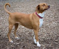 BFF_6474-Edit DOG WITH ATTITUDE.jpg (Bonnie Forman-Franco) Tags: dogpark nature outdoors dogphotographer dogphotography attitude dogattitude playing