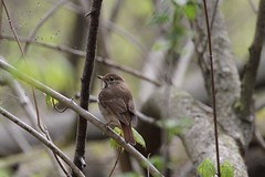 A Hermit Thrush (praja38) Tags: thrush songbird feathers feather nature wildlife caps cap capricorn humour life wild hermitthrush beak wings wing canadian canada ontario whitby forest woods