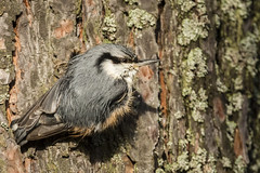 Nötväcka - Eurasian Nuthatch - Sitta europaea (Peter Dahlgren) Tags: animal animals bird djur eurasiannuthatch europe feathering feathers natur nature sittaeuropaea sweden tree vingar vinter wings winter fjäderdräkt fjädrar fågel nötväcka träd fåglar
