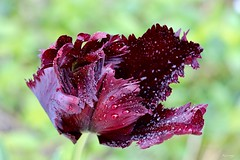 Rain of wine (kiareimages1) Tags: flowers tulips rain rosso bordeaux colors images imagery perlesdeaux goccedipioggia drops macroflowers macro macrophotographie