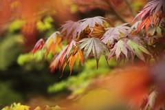 Acer Palmatum (Mark Eastment) Tags: westonbirt arboretum acer palmatum nature plants trees leaves leaf spring