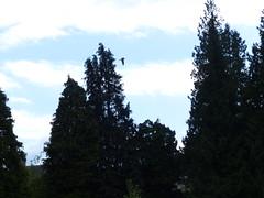 Saker Falcon flying. (FloraandFauna_2) Tags: saker falcon thorp perrow beadale north yorkshire