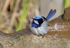 A little puff ball (christinaportphotography) Tags: superbfairywren maluruscyaneus fairywren budgewoi centralcoast nsw australia bird birds wild free fluffy blue puffy cute focus bath dof