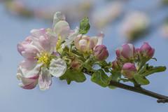 Pink apple blossoms Stockholm Sweden (PriscillaBurcher) Tags: rosendalsträdgård pinkappleblossoms appleblossoms appletree tree floweringtree pinkflowers malus stockholm sweden l1340792