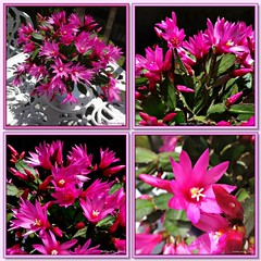 """""""Add to this a good sense of humor, a big dose of patience, and a dash of humility, and you will be rewarded many-fold."""" (martian cat) Tags: fdsflickrtoys springtime succulent macro theperfectpinkdiamond ©martiancatinjapan allrightsreserved© flower nature succulents ©allrightsreserved martiancatinjapan© balconygarden mybalconygarden gardening hobby eastercactus ☺allrightsreserved allrightsreserved ☺martiancatinjapan martiancat martiancat© ©martiancat martiancatinjapan closeup flowers onblack easter"""