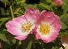 11-IMG_6392 (hemingwayfoto) Tags: blühen blüte blüten blütenstempel blume botanik busch duftend einheimisch flora gelb häufig heckenrose pflanze romantisch rosa rosacanina rose rosengewächs strauch wildrose zart zwei