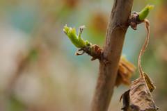 Neuanfang (grundi1) Tags: sony alpha 68 sigma 1770 f2845 dc macro neuanfang knospen ilca68 a68 bud spring frühling growing vanagram blätter leaves nature