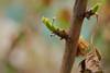Neuanfang (grundi1) Tags: sony alpha 68 sigma 1770 f2845 dc macro neuanfang knospen ilca68 a68 bud spring frühling growing vanagram blätter leaves nature grün green hollenthon