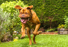 Benson (Kev Gregory (General)) Tags: benson dog dogue de bordeaux brown garden run chase teeth mouth pet french mastiff fierce floppy kev gregory can 7d hound play fetch focussed fixated