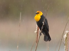 Yellow-headed Blackbird (Eric_Z) Tags: yellowheadedblackbird yellow blackbird ionabeachregionalpark britishcolumbia canada raindrops explored