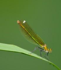 inizia la danza... (andrea.zanaboni) Tags: libellula dragonfly nikon macro insetti insects predatore occhi eyes verde green