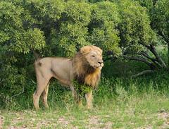 The king is marking his territory (jaffles) Tags: southafrica südafrika krügernationalpark kruger np wildlife safari natur nature olympus predator raubkatze lion löwe marking territory explore inexplore