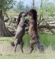 Konik Horses, The Netherlands (photovansoest | nature & wildlife photography) Tags: konikhorses thenetherlands horses wildlife wild