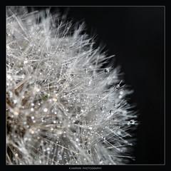 Oo0Oo0Oo0Oo0Oo0Oo0 (Kevin HARWIN) Tags: dandelion weed kent south east macro close up canon eos 70d 100mm lens