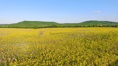Dreamingly Lost (player_pleasure) Tags: wildflowers field farming crop mountain yellow phantom drone ariel