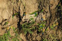 White-fronted Bee-eaters (Joe Tecza) Tags: zambezi zambeziriver lowerzambezinationalpark zambia canoe canoetrip beeeaters whitefrontedbeeeaters