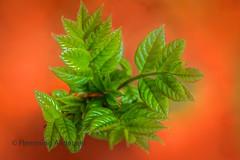 Leaves HMM (The Papa'razzi of dogs) Tags: member'schoiceintothewoods green leaves macro marcomondays jelling regionsyddanmark denmark dk