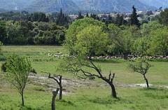 scena bucolica nelle Alpilles (fotomie2009) Tags: francia france provence provenza countryside campagna landscape paesaggio eygalières alpilles pecore gregge