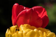 Rote Tulpe hinter einer gelbe - Red tulip behind a yellow onen (riesebusch) Tags: berlin garten marzahn