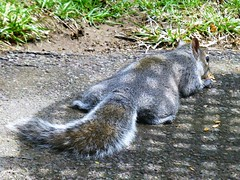 My lazy squirrel finds the easiest way to eat sunflower seeds (eileansiar) Tags: eileansiar home backyard animal squirrel eating sunflower seeds spring warm day panasonic dmczs19 zs19 leica lens