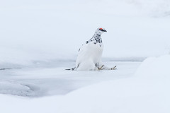 Ptarmigan (James Shooter) Tags: ptarmigan winter nature cairngormsnationalpark grouse native snow camouflage scotland march upland cairngorms mountainous snowy lagopusmuta nationalpark wildlife mountain