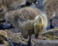 Young Goose (swong95765) Tags: goose chick young cute closeup waterside