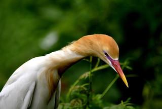 DSC0041 Cattle Egret