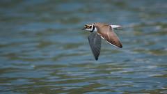 Flussregenpfeifer (Charadrius dubius) 17075 (bertheeb) Tags: flussregenpfeifer regenpfeifer vogel nikon d750 500mmvr