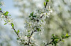 the cleanest I've been (bonzerg) Tags: nikon d5100 nature white helios helios442 bokeh domestic flowers flower spring prunus cerasus green branch stamen stamens