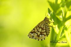 hmm, de l'embonpoint, m'sieur...!?!non (studio gimi) Tags: papillon butterfly outdoor extérieur marais macro planrapproché grosplan profondeurdechamp depthoffield insecte nature natur sigma105mm macrodreams