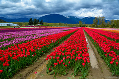 Tulips of the Valley Festival (2017) (SonjaPetersonPh♡tography) Tags: tulipsofthevalleyfestival tulipsofthevalley tulipsfields nikon nikond5200 flowers tulips tulip gardens festival fraservalley chilliwack britishcolumbia canada blooming spring springtime blooms fields tulipfields tulipfestival people visitors landscape
