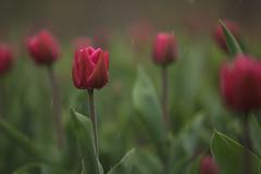 may showers (Marc McDermott) Tags: rain cloudy flower spring shallow depth field ef135mmf2lusm garden