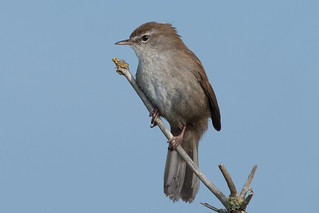 Cetti's Warbler-154