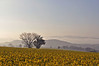 Frühaufsteher werden belohnt... (Uli He - Fotofee) Tags: ulrike ulrikehe ulihe uli ulrikehergert hergert nikon nikond90 fotofee mai frühling burghaun feld plätzer raps frühlingserwachen morgenstimmung nebel nebelstimmung rapsblüte hünfeld