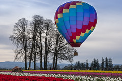 Colors Above and Below (Wambo Jambo) Tags: bruceikenberrryphotography oregon spring woodenshoetulipfarm woodenshoetulipfest flowers tulipfest tulips hotairballoons balloon hotairballoon balloons