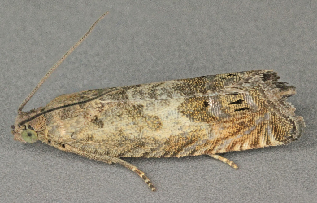 Cydia ulicetana, Trefor beach, North Wales, Sept 2013