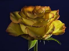 Back Lit Yellow And Orange Rose (Bill Gracey 15 Million Views) Tags: rose rosa fleur flower flor color colorful backlit backlighting bluebackground offcameraflash gel yongnuorf603n softbox platinumheartaward