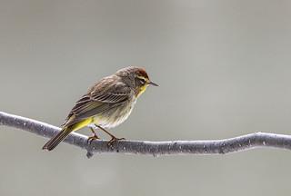 Paruline èa couronne rousse  -  Palm Warbler