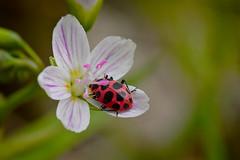 Spotted Ladybug beetle-Coleomegilla maculata (wdterp) Tags: ladybug ladybird beetle springbeauty wildflower woods spring coleomegilla maculata