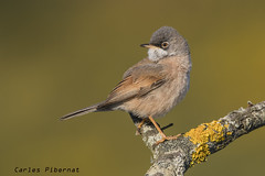 Tallarol Trencamates, Curruca Tomillera, Spectacled Warbler ( Sylvia conspicillata). Male (Carles Pibernat) Tags: