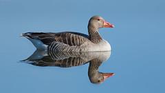 Goose (Skodiar) Tags: anseranser greygoose bird vogel vögel canon7dmk2 wasservogel water waterbird natur nature wasser teich