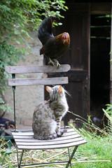 Vita di borgata - Village life (Marco Ottaviani on/off) Tags: piemonte valvaraita melle borgatameire animali gatto gallina marcoottaviani