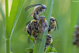 Long horned bees sleeping : Eucera sp