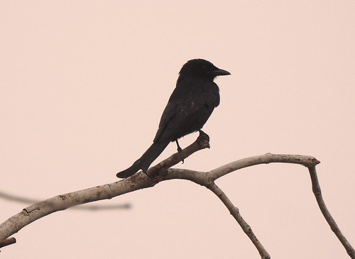 Crow-Billed Drongo At Sunraise Outside Hua Hin - Thailand
