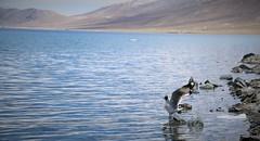 Brown-headed gull (Raveesh Vyas) Tags: bird outdoor water ladakh leh indian brownheaded gull brownheadedgull brown headed splash wings takeoff