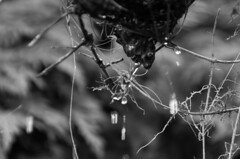 Rushing drops 1 (elizunseelie) Tags: glasgow scotland botanical gardens nature botanics west end park spring 2017 city pentax k5 dslr tamron day scottish plants greenery tree bark leaves textures textural organic monochrome black white water drops droplets