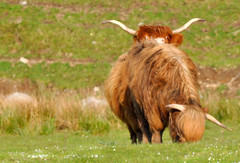 He's behind You.. (Scottish Mary Moo) Tags: cow highlandcow horns grazing lochness highlands heilancoo scotland